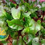 frunze-sfecla-rosie