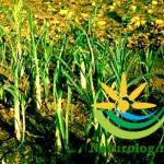 usturoi-verde-gradina